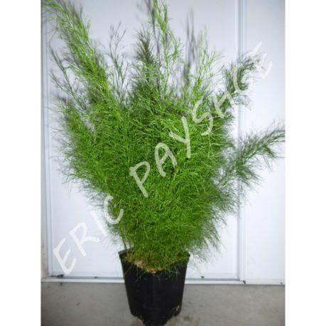 Baloskion tetraphyllum C3L (Copier)