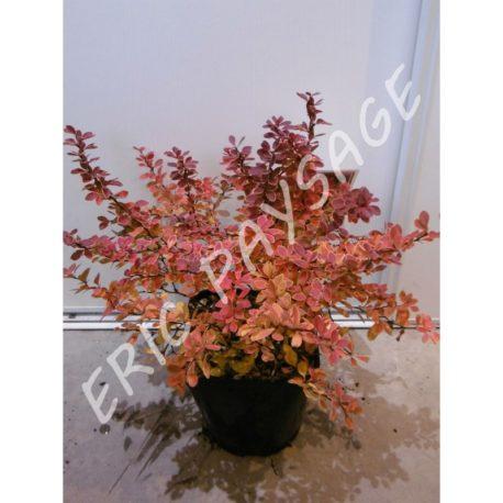 Berberis 'Thunbergii coral' C3L (Copier)